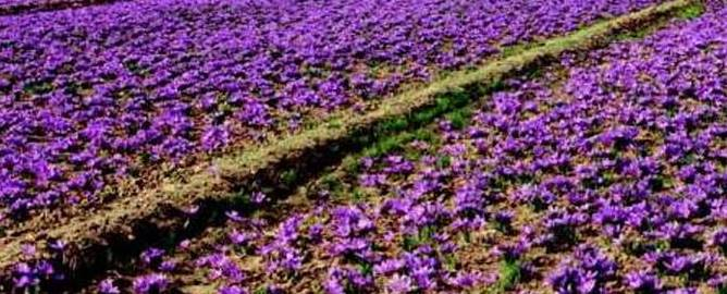 Saffron Farming BusinessHindi